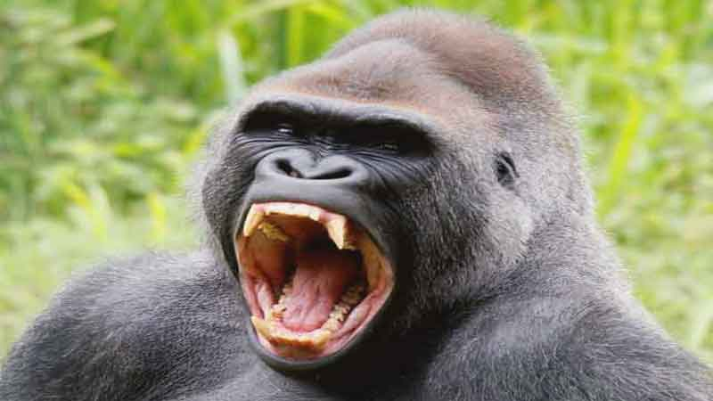 Gorilla-is-a-protected-wildlife-news-site