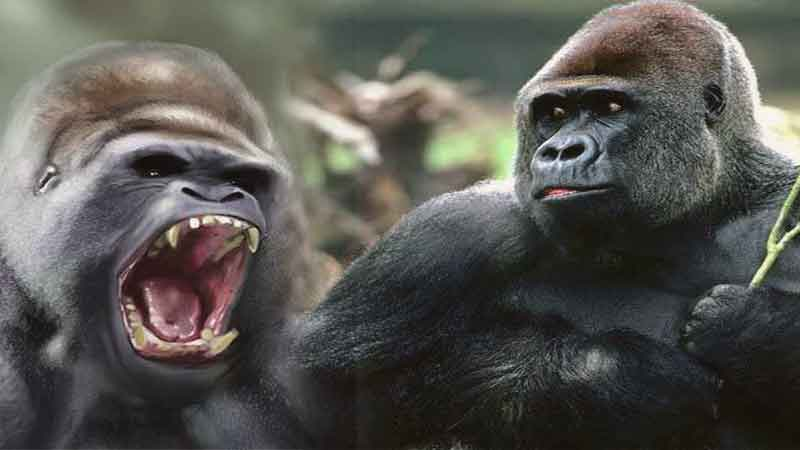 new-Gorilla-is-a-protected-wildlife-site-news
