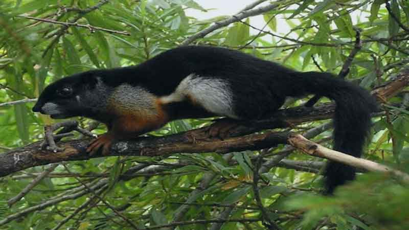 Black-flying-squirrel-news-side