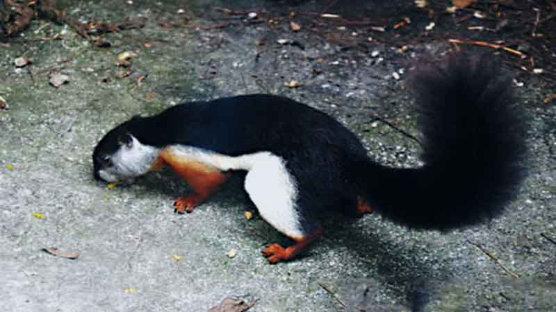 Black-flying-squirrel-side-news