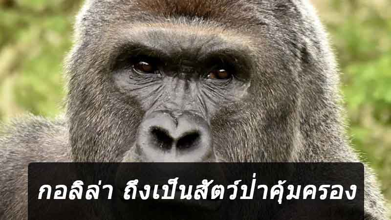 Gorilla-is-a-protected-wildlife-new-site-news