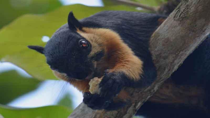 news-side-Black-flying-squirrel