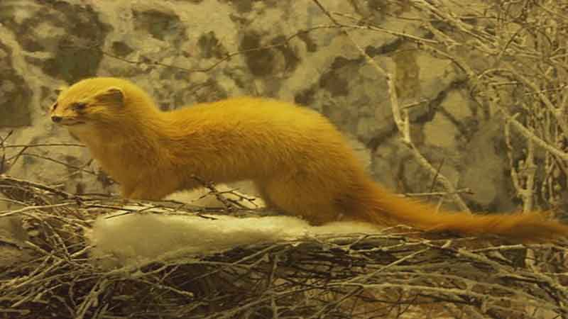 weasel-yellow-news-side