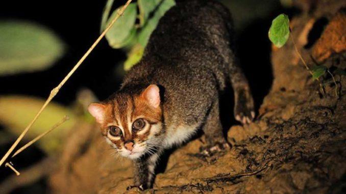 Flat-headed-cat