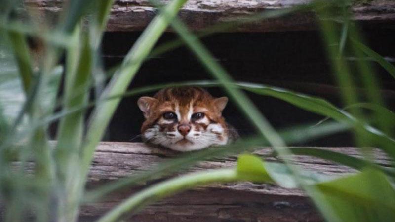 Flat-headed-cat-image