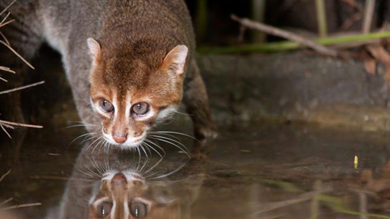 Flat-headed-cat-pic